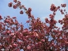 Photo japanese cherry tree 2