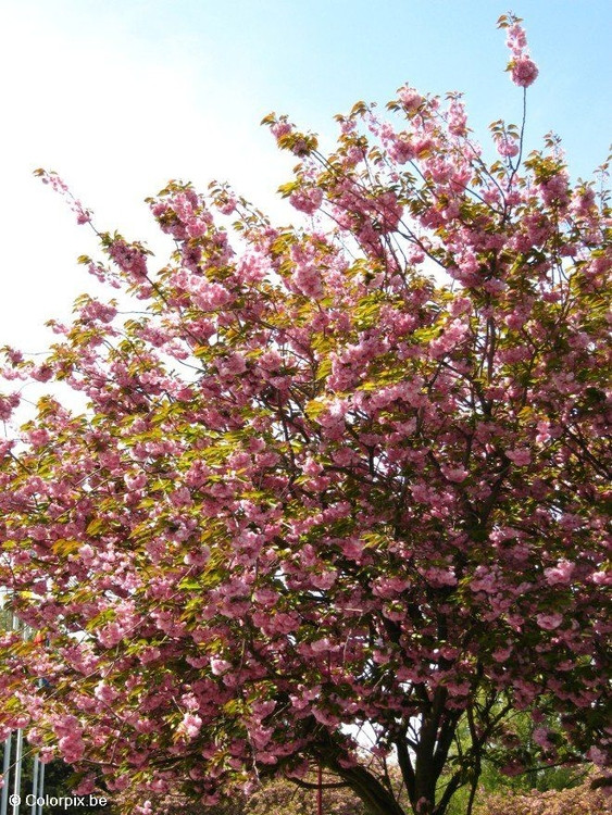 Photo japanese cherry tree 3