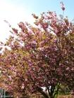 Photo japanese cherry tree 3