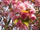 Photo japanese cherry tree