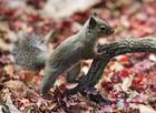 Photo Japanese Squirrel