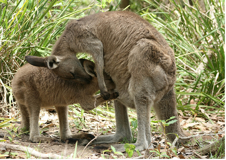 Photo kangaroo with joey