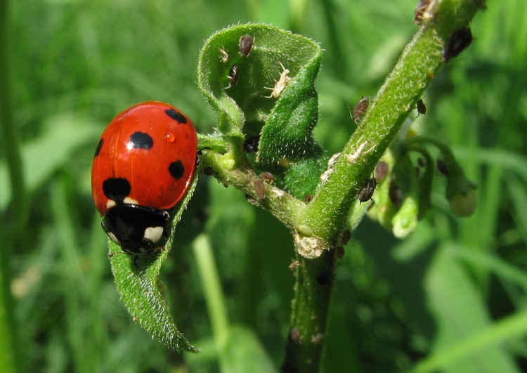 Photo ladybird with plant louse