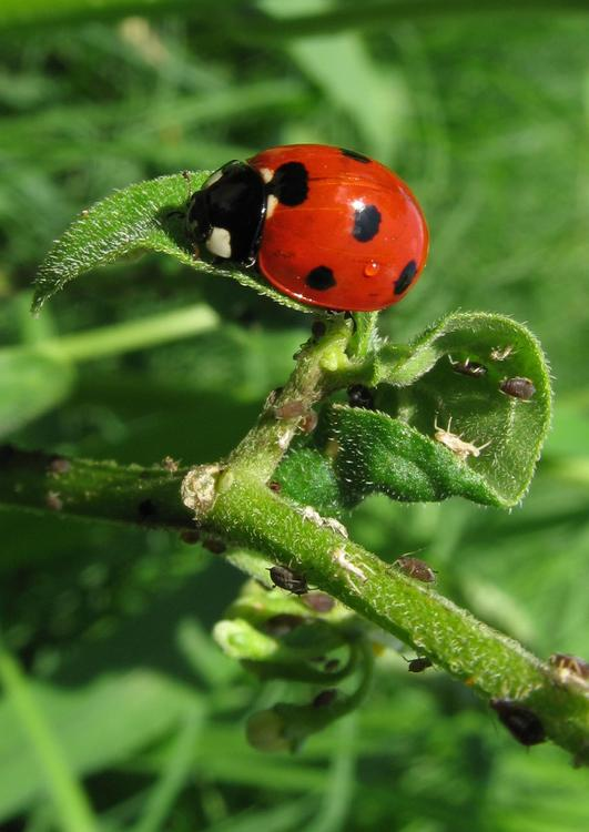 ladybird with plant louse
