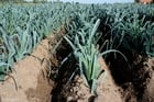 Photo leek field