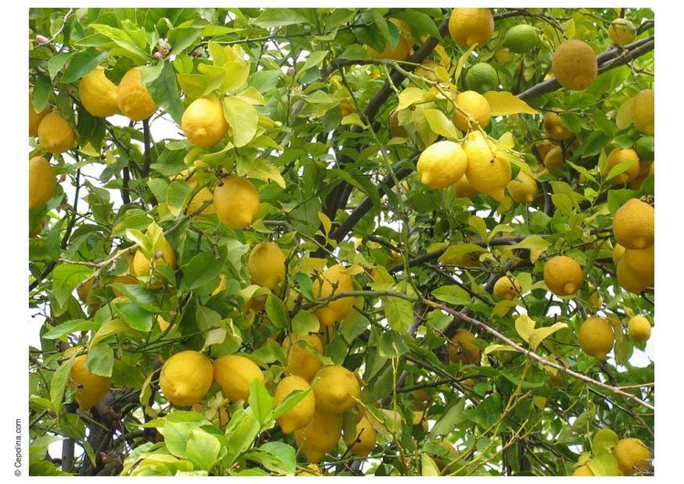 Photo lemon tree