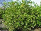 Photo lemon tree
