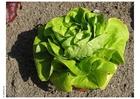 Photo lettuce