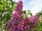 Photo lilac 2