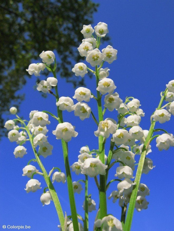 Photo lily of the valley 1