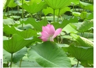 Photos lotus flower