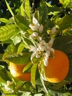 Photo oranges with blossom