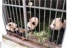 Photo pandas