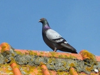 Photo pigeon