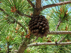 Photo pine cone