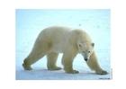 Photo polar bear
