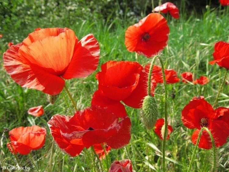 Photo poppies 3