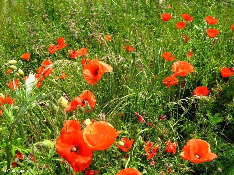 Photo poppies
