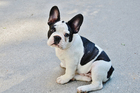 Coloring pages puppy - French bulldog