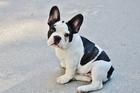 Photo puppy - French bulldog