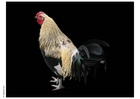 Photo rooster 2