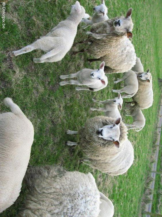 scheep with lambs