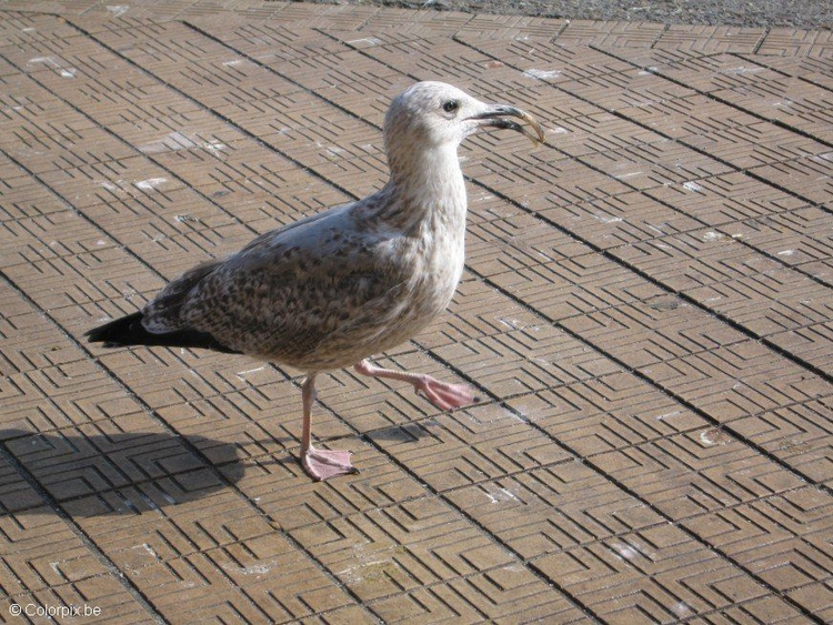 Photo sea gull 2