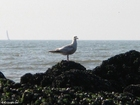 Photo sea gull