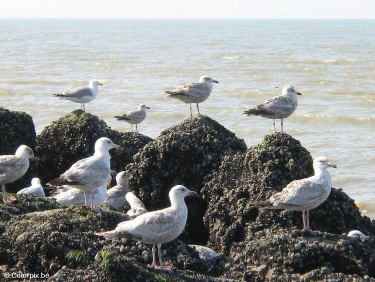 Photo sea gulls 5
