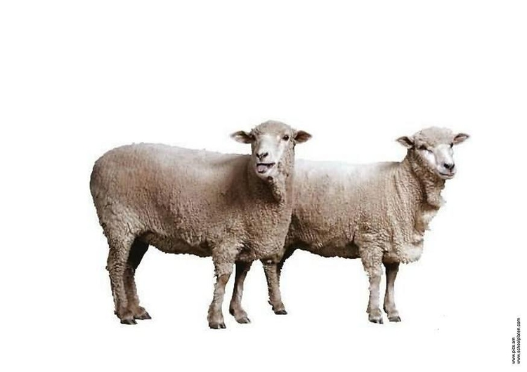 Photo sheep