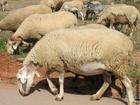 Photo sheep