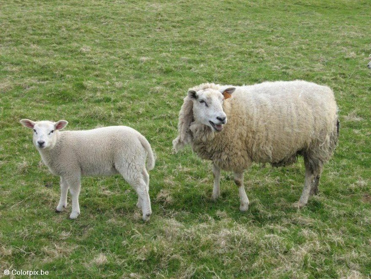 Photo sheep with lamb