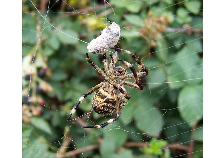 Photo spider with prey