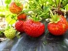 Photo strawberry 8
