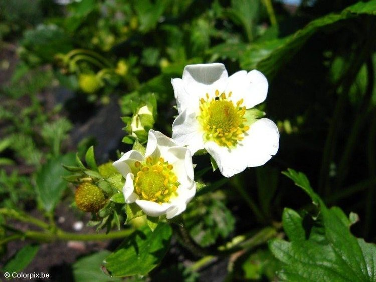 Photo strawberry blossom
