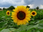 Photo sunflower
