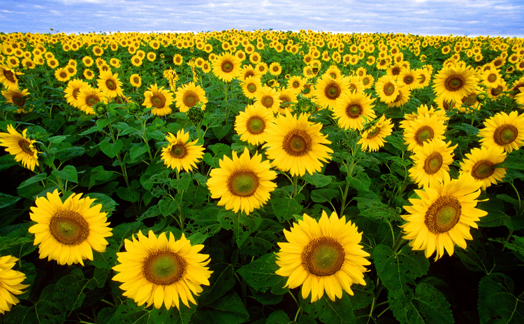 Photo sunflowers