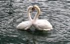 Photo swans