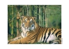 Photos Tiger