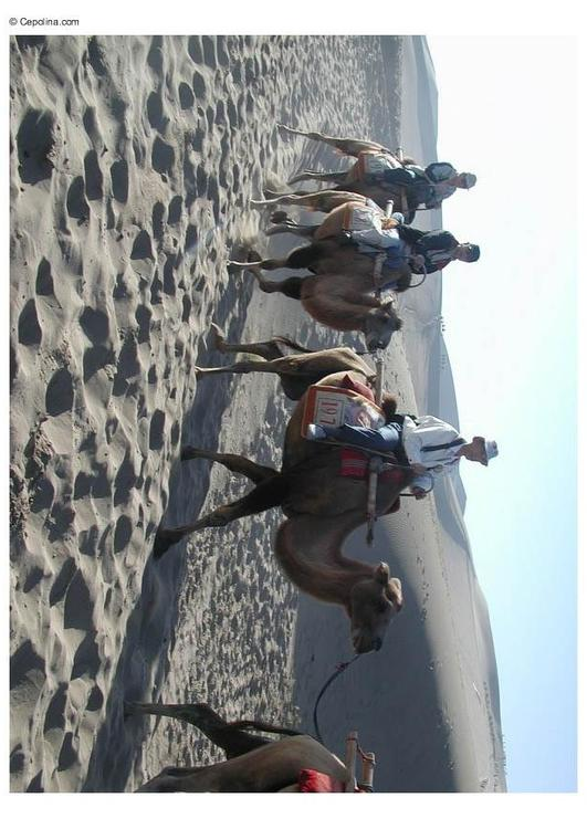 trekking through desert on camels