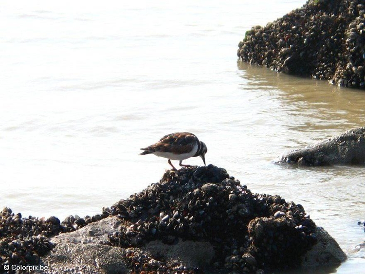Photo turnstone