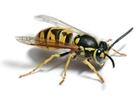 Photos wasp