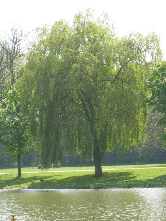 Photo weeping willow