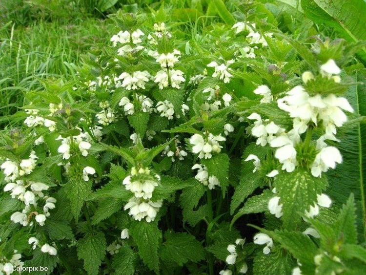 Photo white stinging nettle