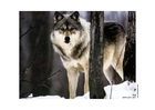Photo wolf