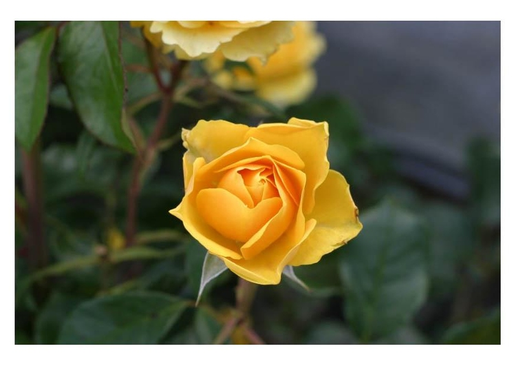 Photo yellow rose