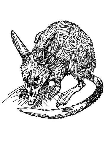 Coloring page Rat - Bandicoot